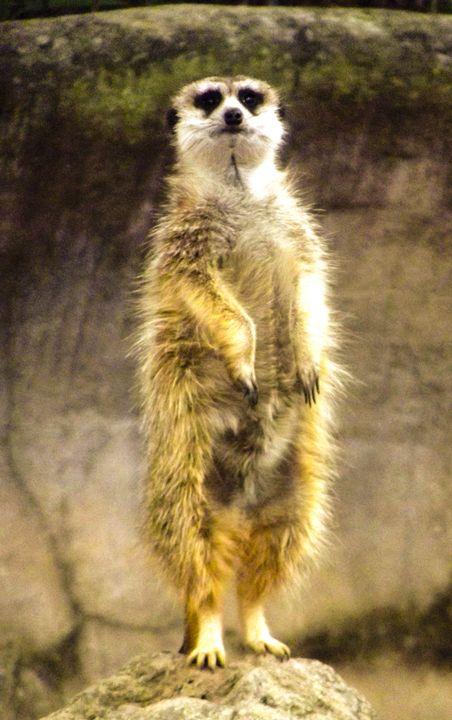 Meerkat - Aaron Alvarez