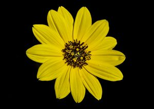 Sunflower (helianthus niveus)