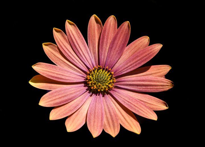 Daisy Flower - Aaron Alvarez