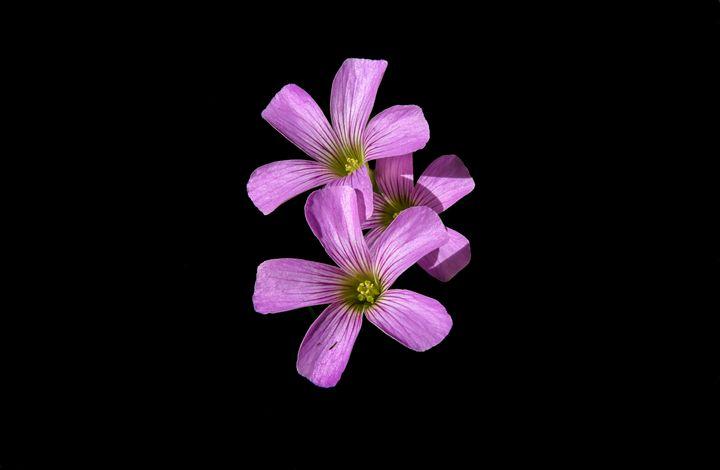 Violet wood sorrel - Aaron Alvarez