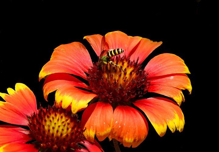 Gaillardia flower with bee. - Aaron Alvarez