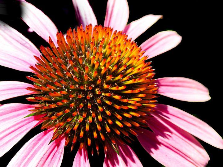 Echinacea Flower close up. - Aaron Alvarez