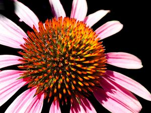 Echinacea Flower close up.