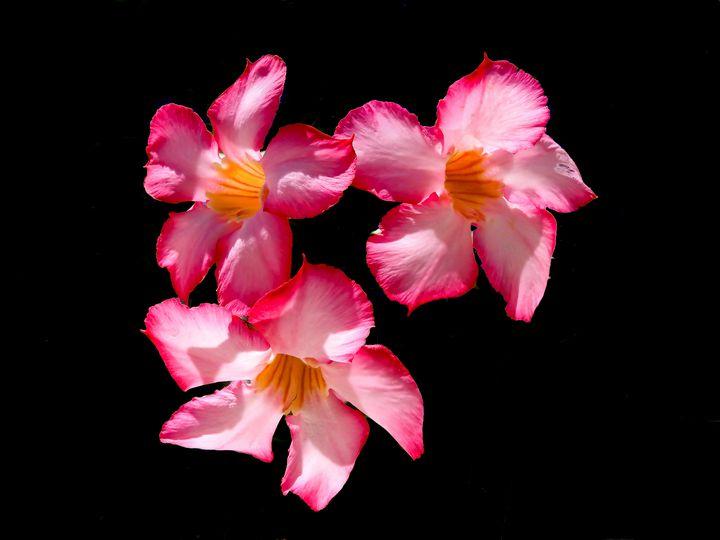 Pink Oleander Flower - Aaron Alvarez