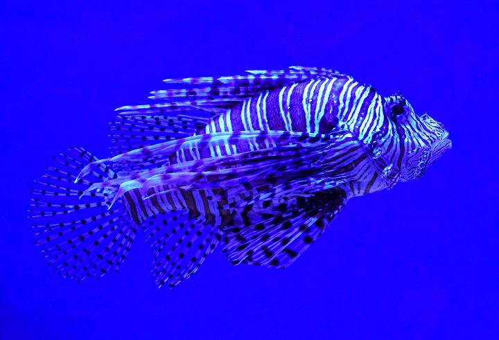 Lion Fish - Aaron Alvarez