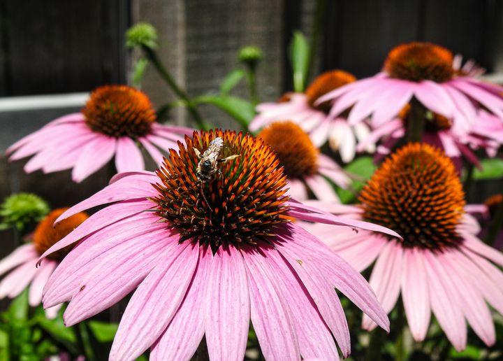 Purple Coneflower Echinacea Flower - Aaron Alvarez