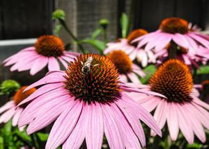 Purple Coneflower Echinacea Flower