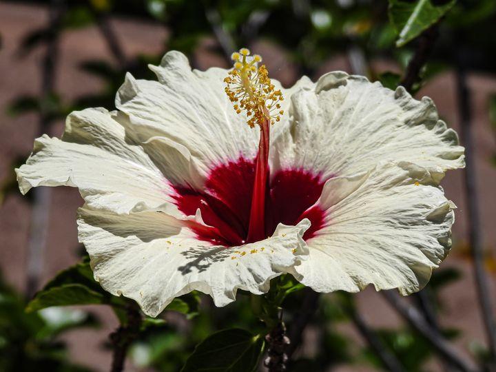 White Hibiscus Flower - Aaron Alvarez
