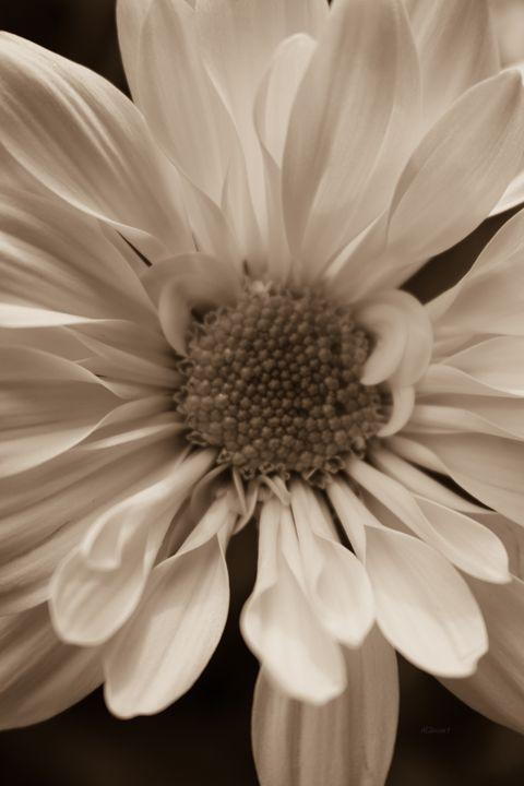 Sepia Sunflower - Albert-Lenora Stewart