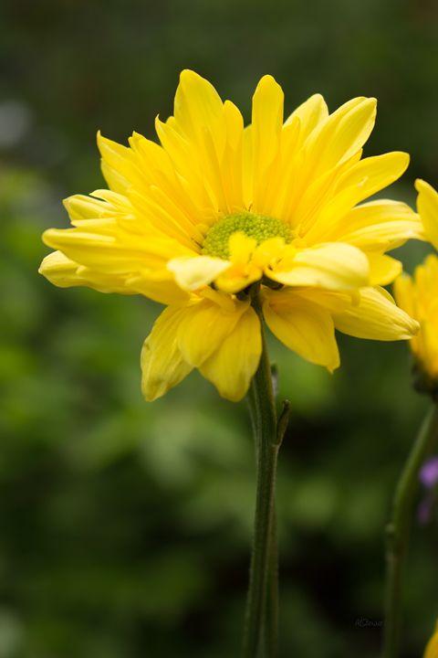 Sunny Flower - Albert-Lenora Stewart