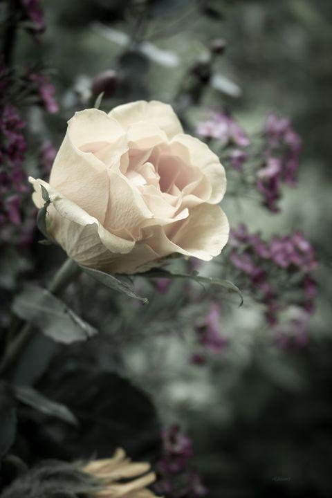 White Rose - Albert-Lenora Stewart
