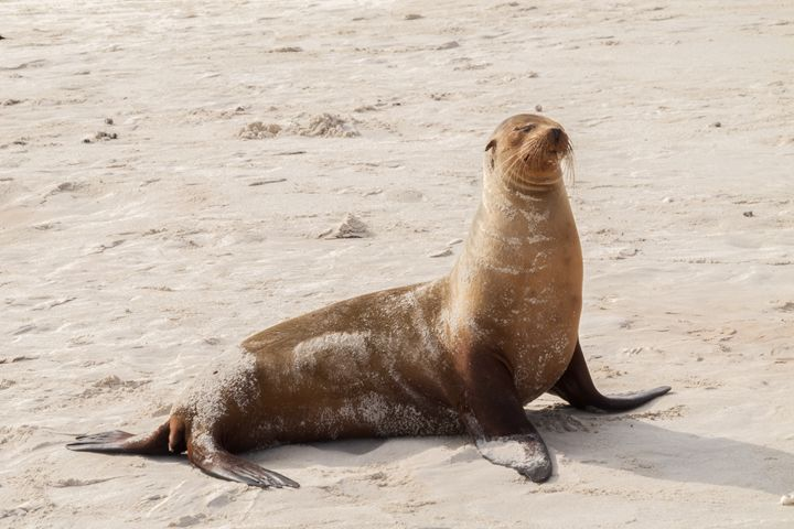 Sea lion sitting on the beach - BRISTE