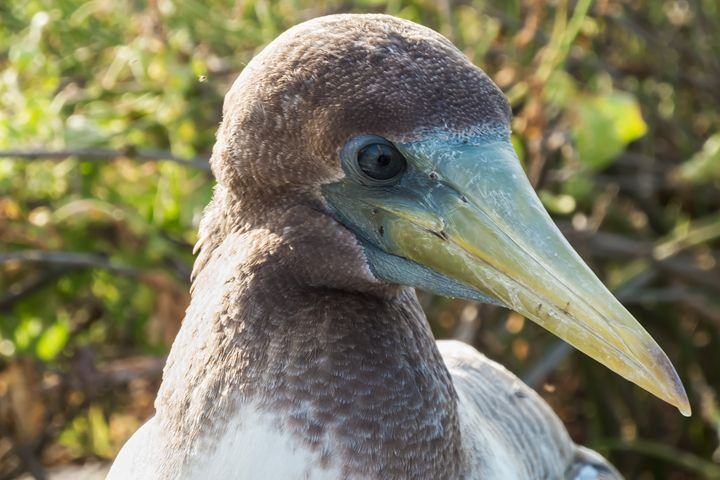 Closeup of the head of a Nazca booby - BRISTE