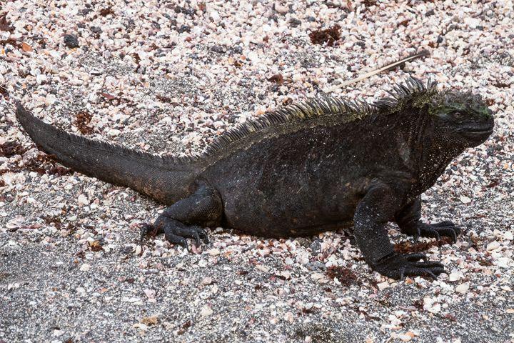 Marine iguana sitting on gravel. Sel - BRISTE