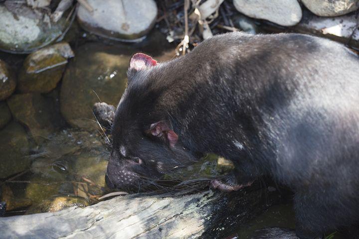 Tasmanian devil drinking - BRISTE