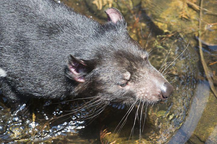 Tasmanian devil in water - BRISTE