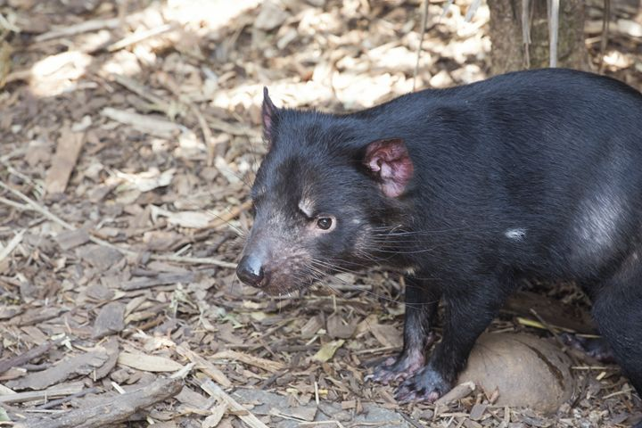 Tasmanian devil looking for a prey - BRISTE