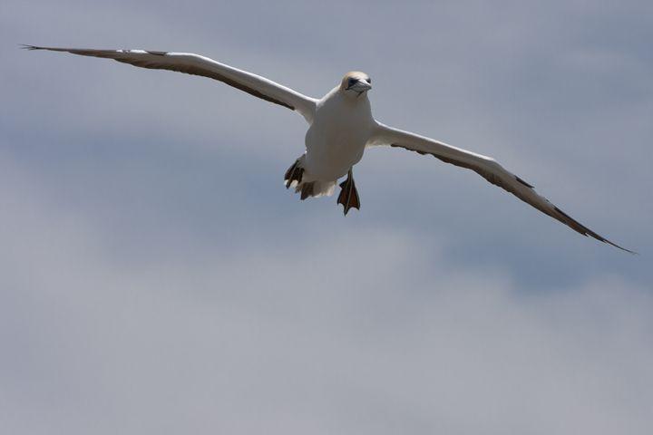 Gannet preparing to land - BRISTE