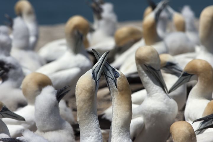 Two gannets crossing their beaks - BRISTE