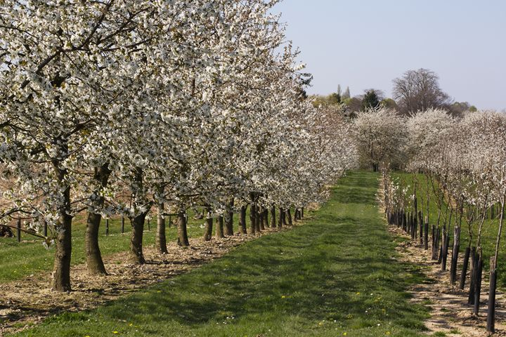 Orchard with blossoming pear trees - BRISTE