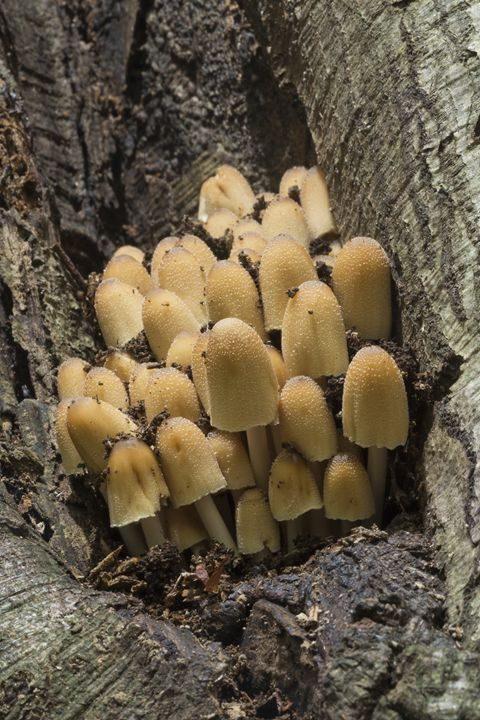 Sulphur tuft in a tree trunk - BRISTE