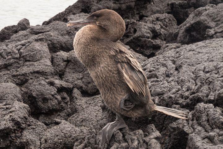 Closeup of a flightless cormorant - BRISTE