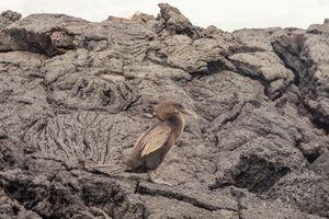 Flightless cormorant with rocks - BRISTE