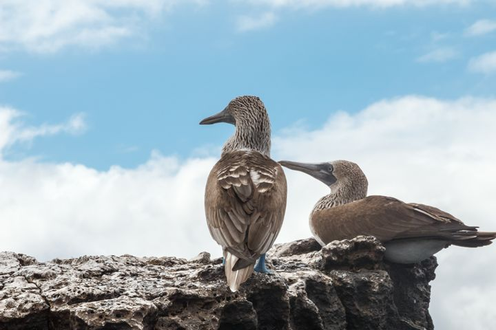 Two blue footed boobies looking into - BRISTE