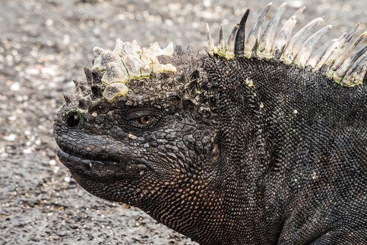 side of the head of a marine iguana - BRISTE