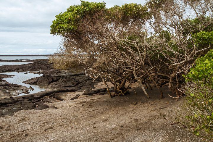 Beach of Fernandina with lava fields - BRISTE