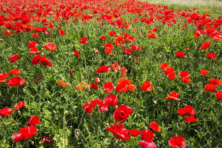 Field coloured in red from poppies. - BRISTE