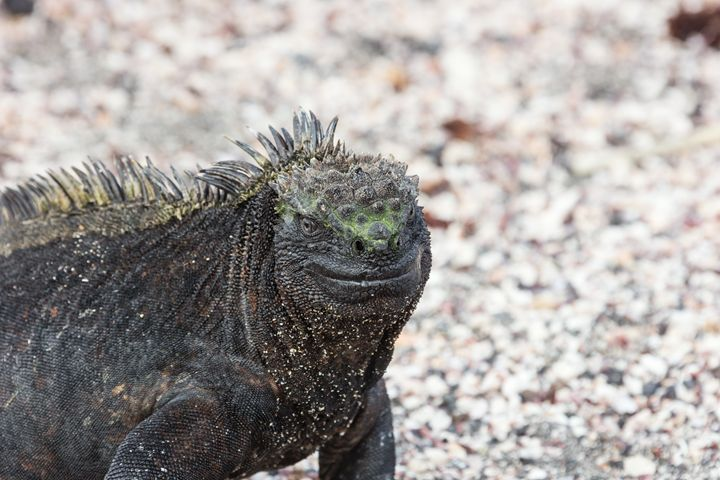 Marine iguana in closeup. Selective - BRISTE