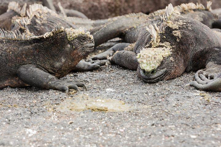 Two marine iguanas facing each other - BRISTE