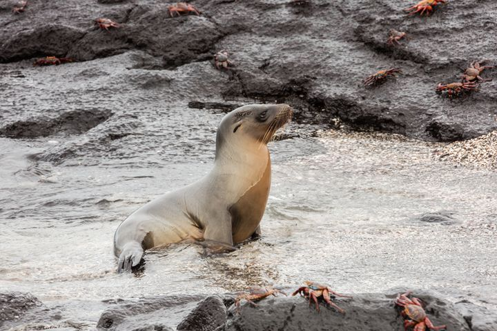 Sea lion coming out of the water. Th - BRISTE