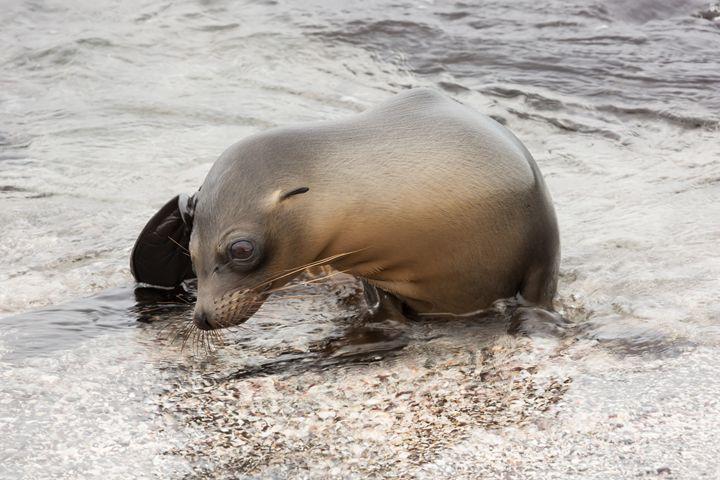 Young sea lion - BRISTE