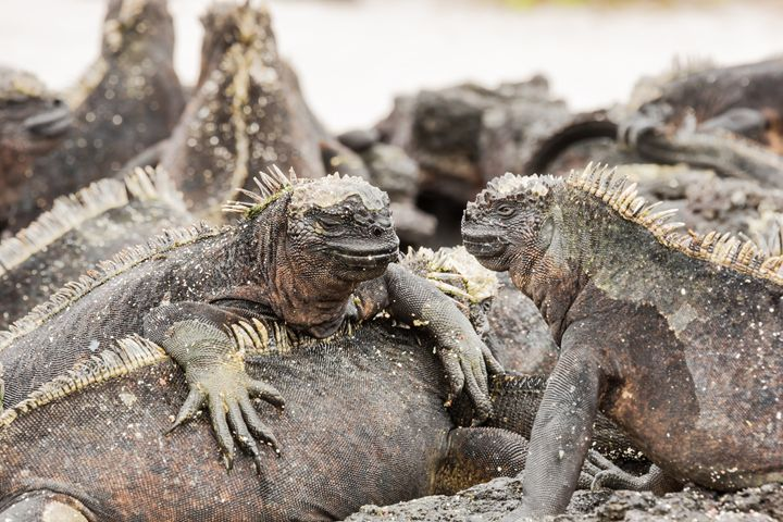 Two marine iguanas looking at each o - BRISTE