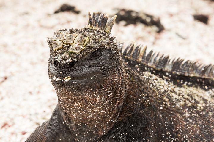 Closeup of a marine iguana covered w - BRISTE