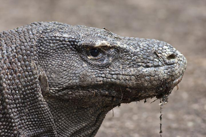 Komodo dragon in close-up - BRISTE