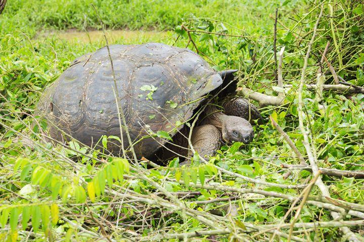 Giant galapagos tortoise - BRISTE