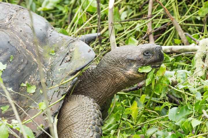 Closeup of a giant galapagos turtle - BRISTE