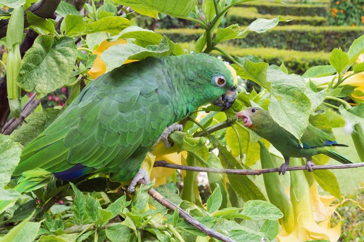 Adult and young parakeet talking - BRISTE
