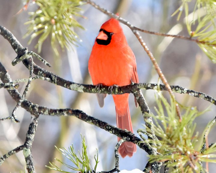 A Winter Cardinal on Icy Day - Photographs by Kathy.. Diversified Photographer