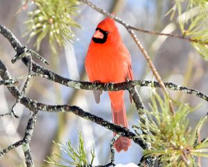 A Winter Cardinal on Icy Day