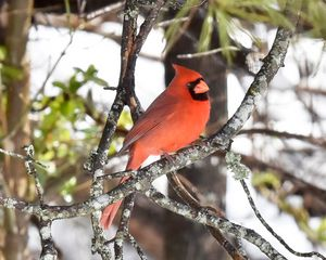 A Winter Cardinal on a Snowy Day