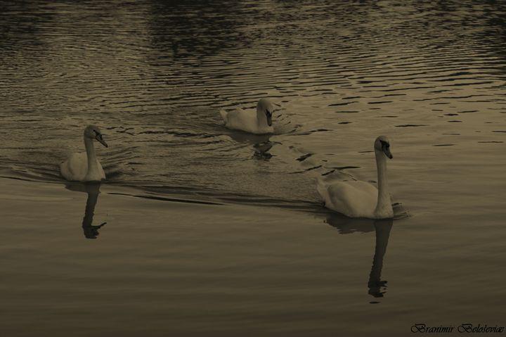 Swans - branimirbelosev