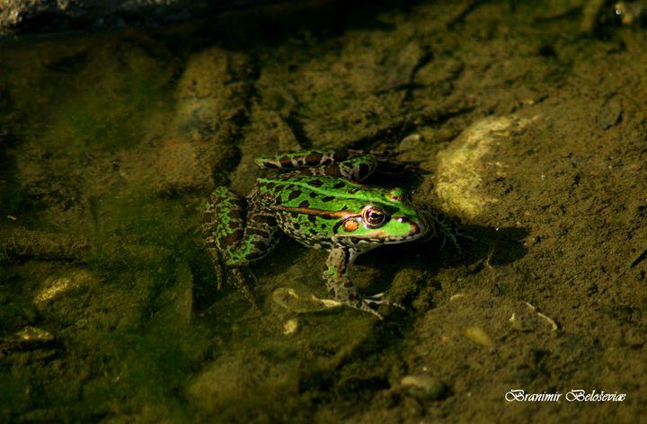 Frogg - branimirbelosev