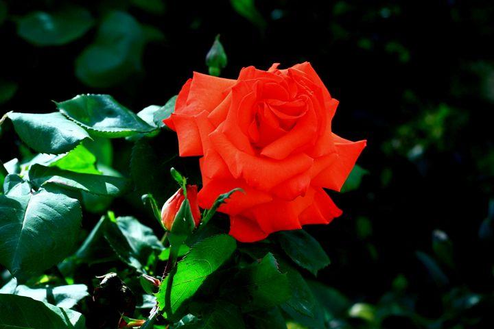 Rose red - branimirbelosev