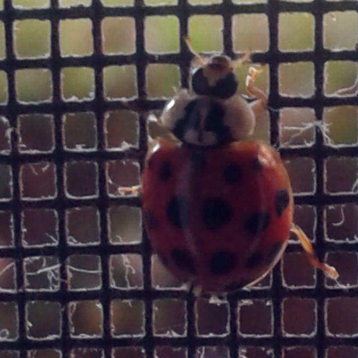 Ladybug - Nicole Woodson