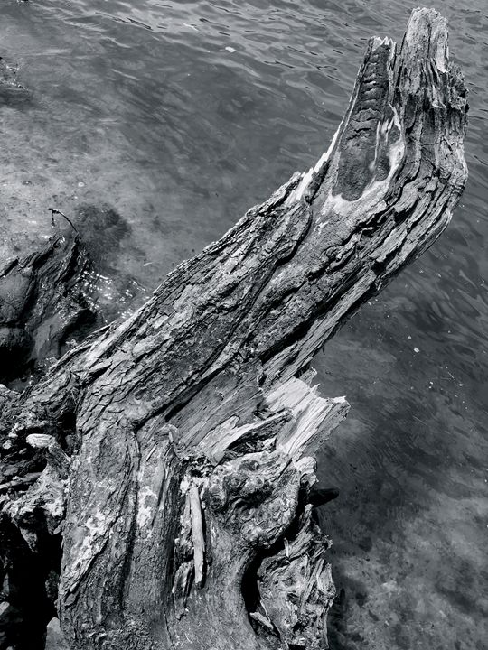 broken tree by the river - Raw