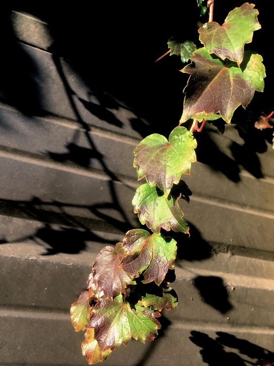 Lauring Leaves - Raw